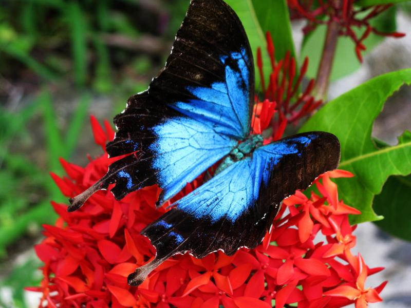 Ulysses Butterfly