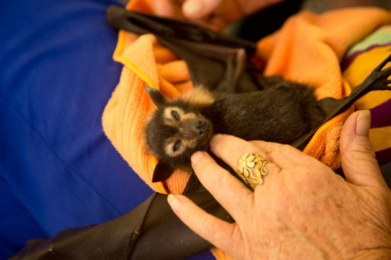 Fruit bat being hand fed